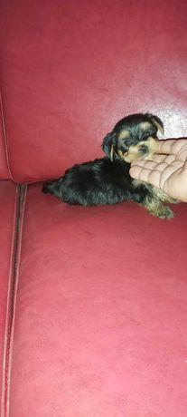 Yorkshire terrier miniatura
