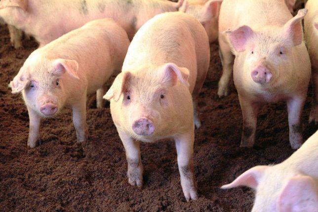 Свиньи продам. ..