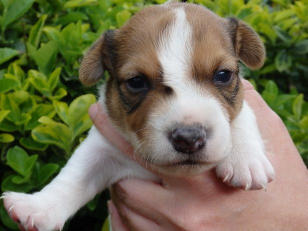 Jack Russell Terrier piesek PITUŚ od SMARTIE JACKS rezerwacja