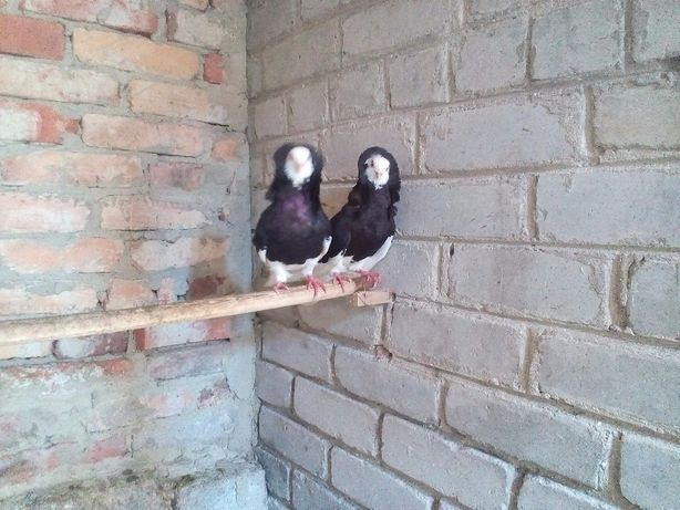 Пернатые птицы голуби