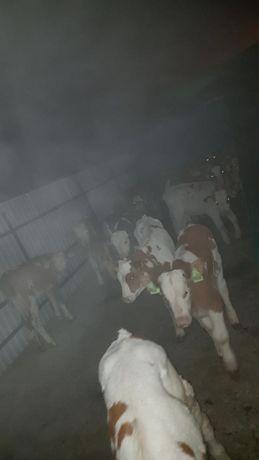 Byczki mięsne i mieszance bardzo duży wybór