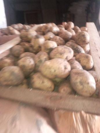 Картошка молода оптом