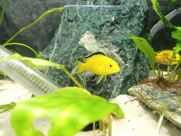 pyszczaki yellow