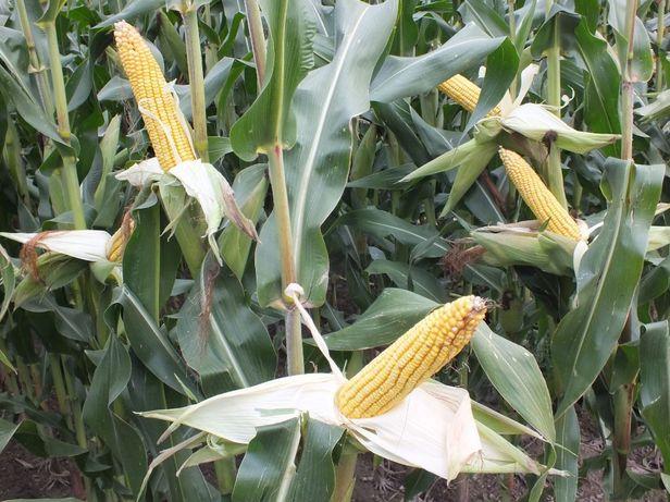 Nasiona kukurydzy kukurydza SCHELEM kiszonka ziarno FAO 250 260