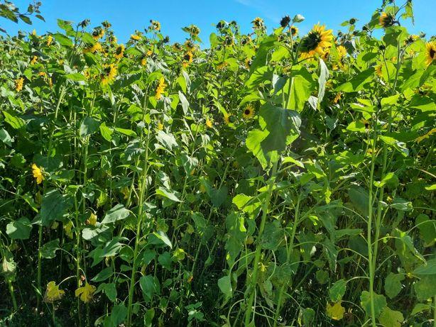 Slonecznik kiszonka kukurydza