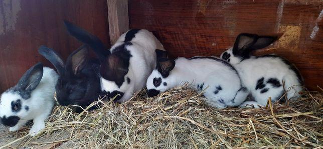 Кролики породы- Строкач (Немецкий пестрый)