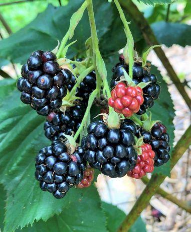 Amoreira preta Rubus ulmifoliu