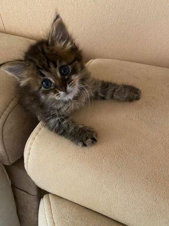 Подарим ухоженного кота