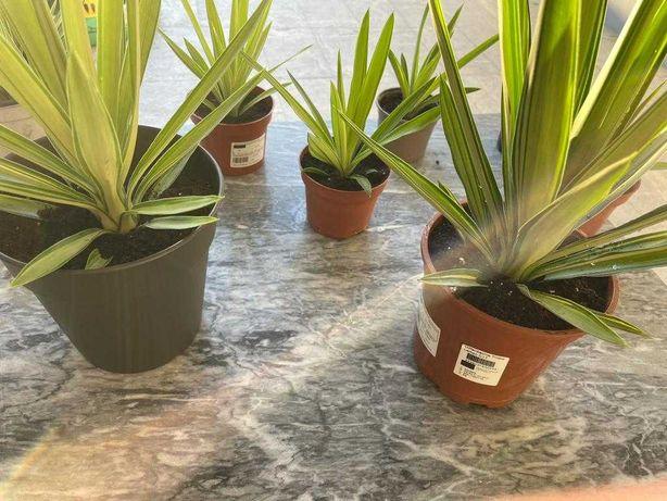 Planta Yucca elephantipes