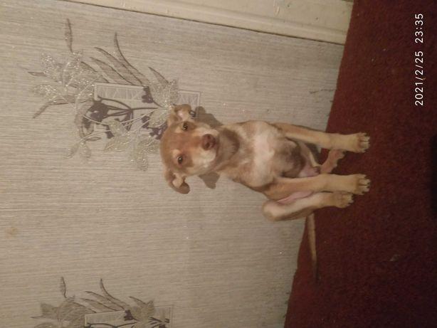Продам щенка метис лабрадора