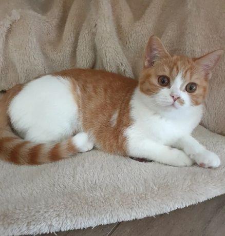 Koty brytyjskie rodowód FPL/FIFe