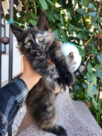 Подарую пухнасту кішечку 2,5 місяці метис турецької ангори