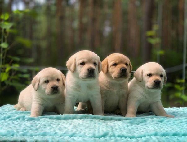 Labradory biszkoptowe maluchy