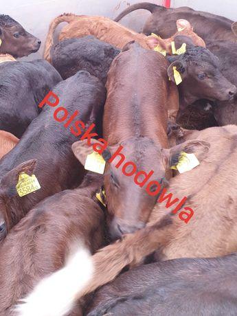 Sprzedam cielaki z hodowli