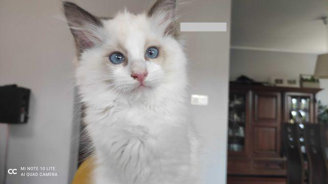 Piękne kotki Ragdoll