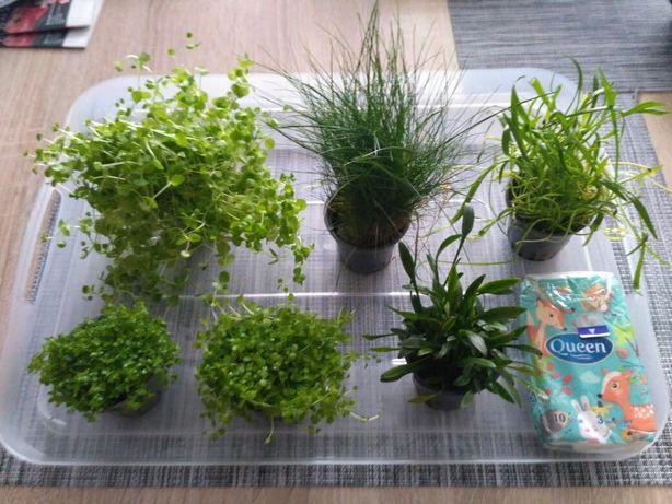 Roślinki : eleocharis , lilaeopsis , monte carlo , umbrosium i inne