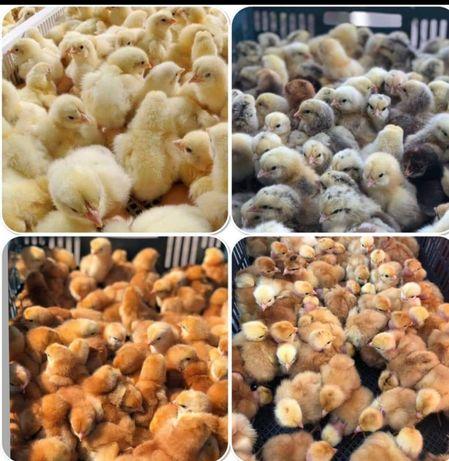 Курчата м'ясо яєчні