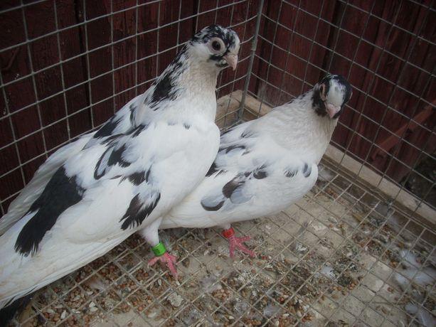 gołębie zamojskie szwarszkopy