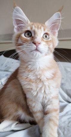 Котёнкок породы Мейн-Кун