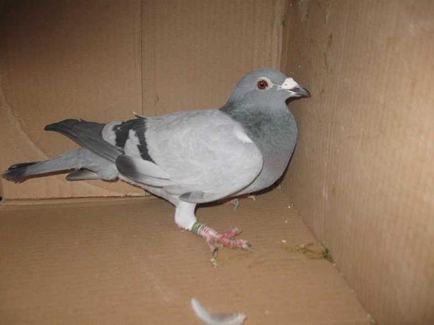 Gołębie Pocztowe Samica BE 17 Adres Wojters
