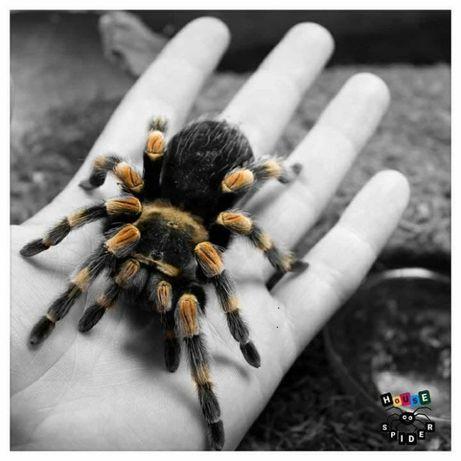 Самцы паука птицееда для новичков Brachypelma smithi