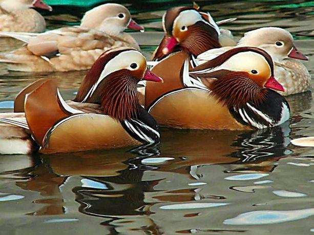 kaczki gęsi ozdobne mandarynki karolinki różne kolory ohary i inne