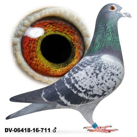 Młode 2021 Para 27 Wnuk Kannibaala x Oryg Drapa gołąb gołębie pocztowe