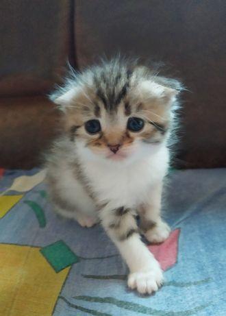 Котёнок, котята, вислоухий кот