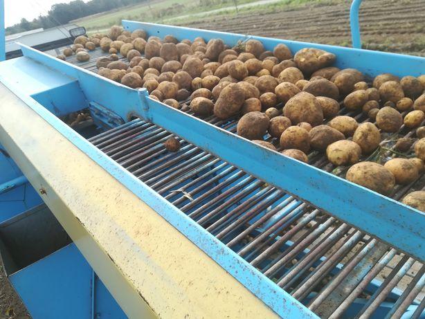 Ziemniaki jadalne vineta 1.30 zł/kg