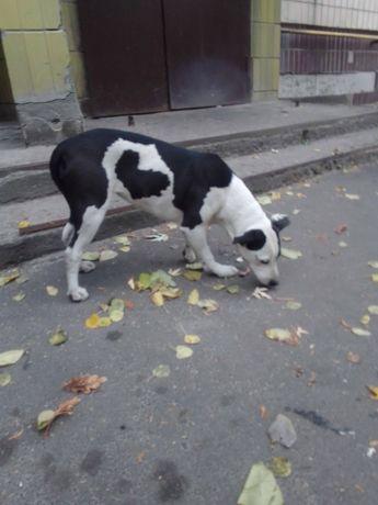 Чья собака? Метис стафа