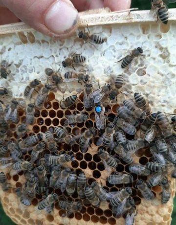 F-1 «Карпатской породы». Плодная Пчелиные матки Скидки!