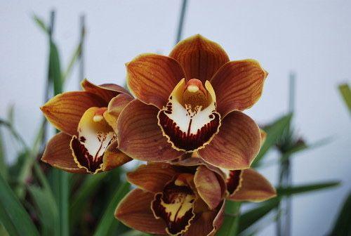 Vaso Orquidea castanha