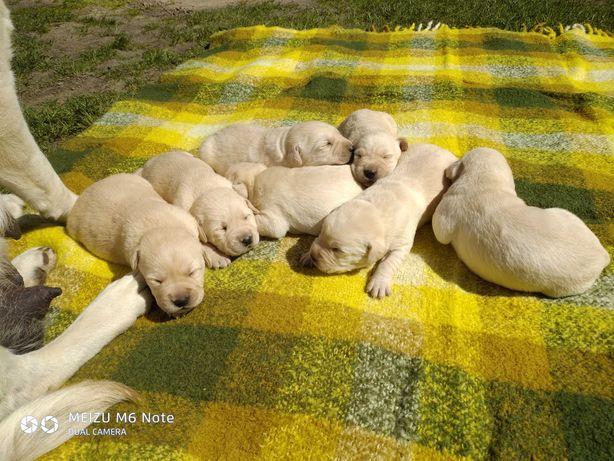 Szczeniaki Labrador biszkoptowe