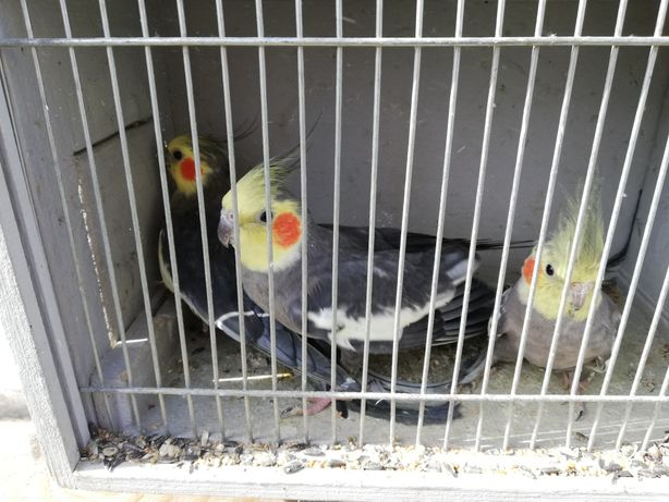 Papugi nimfy 20r
