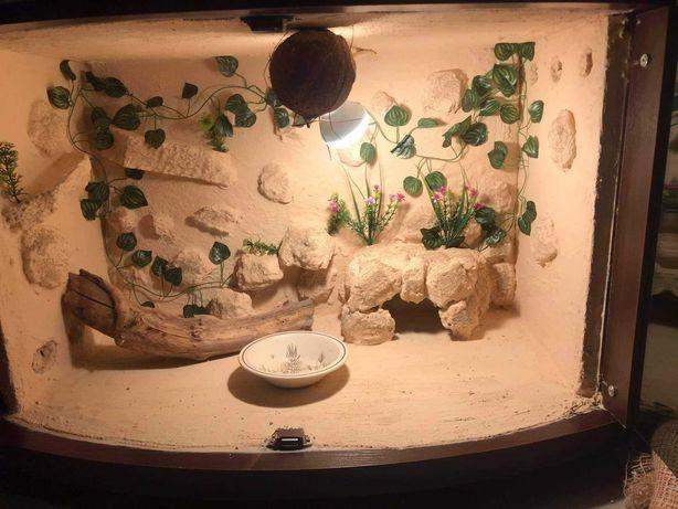 Gekon lamparci plus terrarium