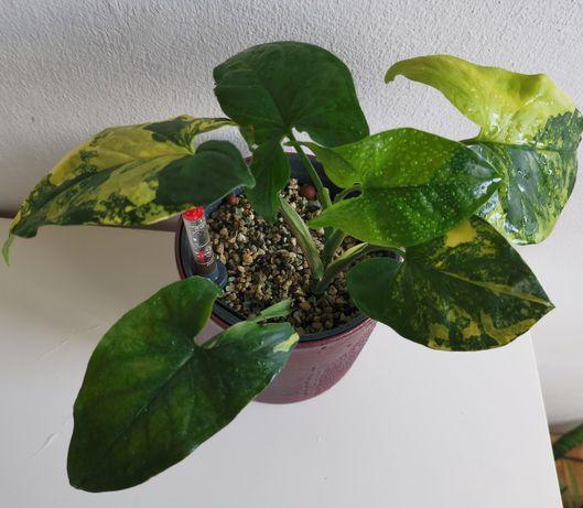 Syngonium Aurea Variegata