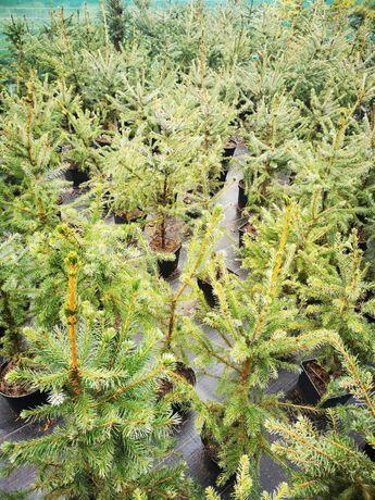 świerk serbski ok 1m, szybko rosnący, dwubarwny, odporny na mróz