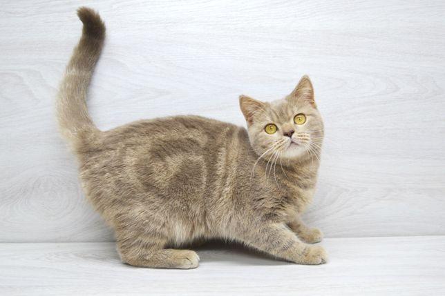 Лиловая мраморная (скоттиш страйт) Шотландские котята
