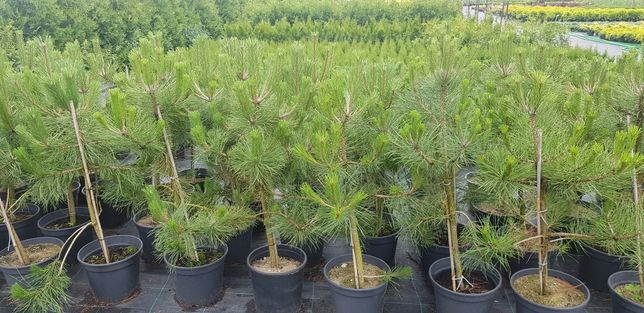 Sosna czarna Pinus nigra w donicy 120cm