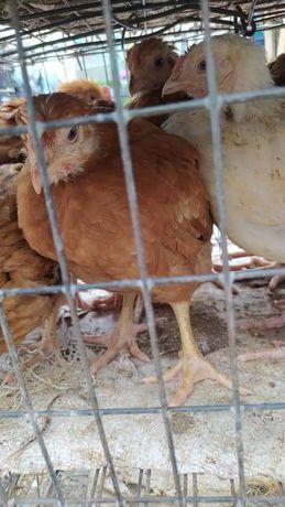 Курчата м'ясояєчної породи Мастер Грей Редбро