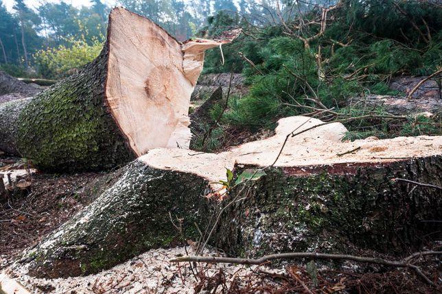 USŁUGI LEŚNE / KUPNO - wycinka, skup drzewa na pniu / składnicy