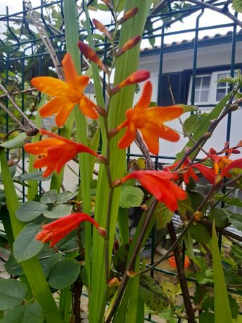 10 alhos de flores laranja