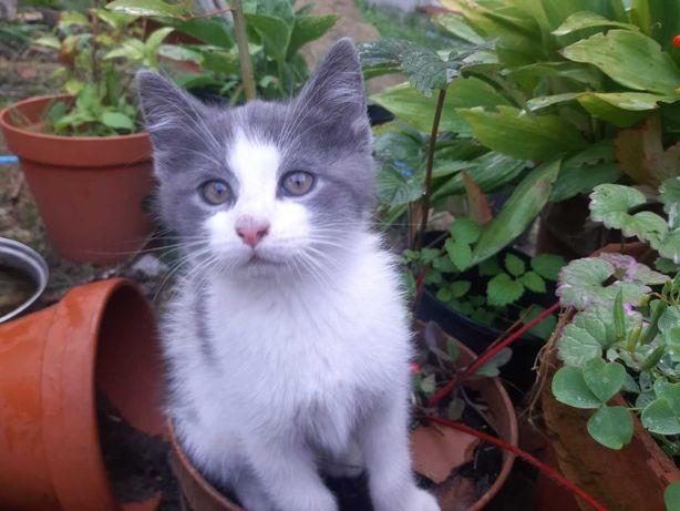 Kotek biało-srebrny