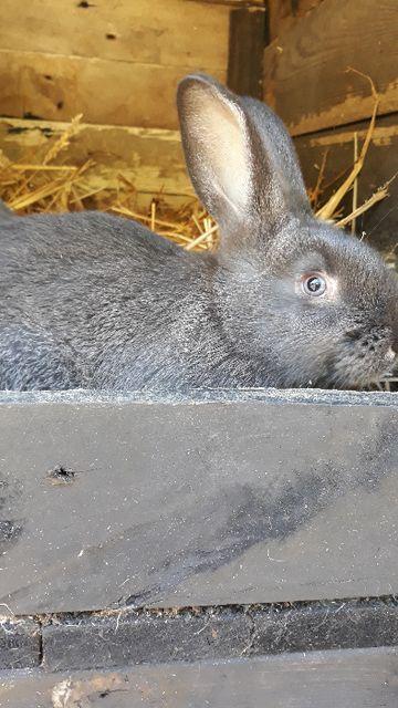 króliki mieszance
