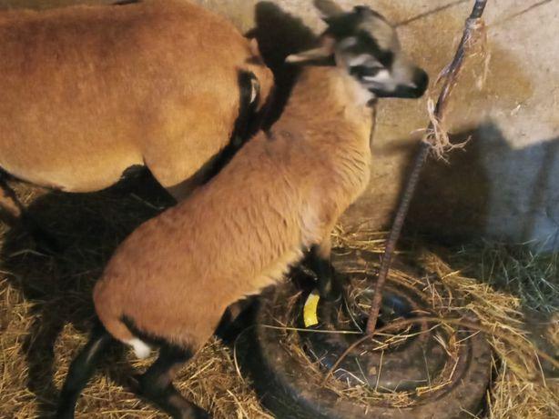 Sprzedam tryka owcy kameruńskiej