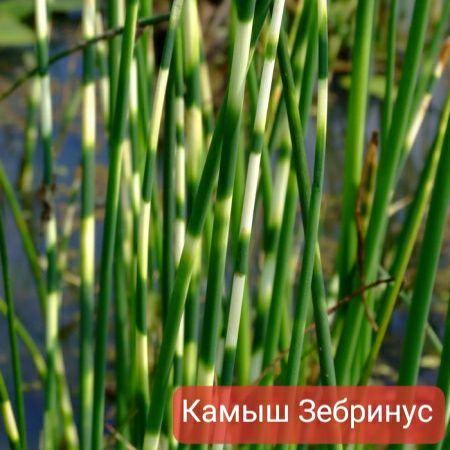 Растения для пруда Камыш Мята болотная Болотные растения