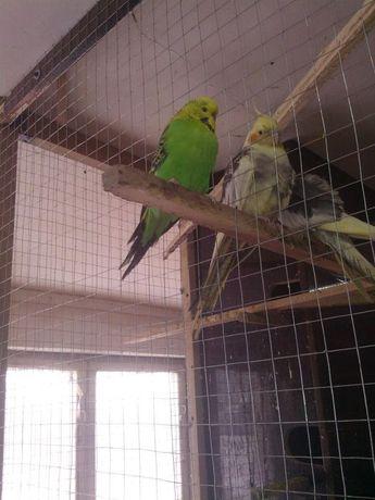 Папуги ч