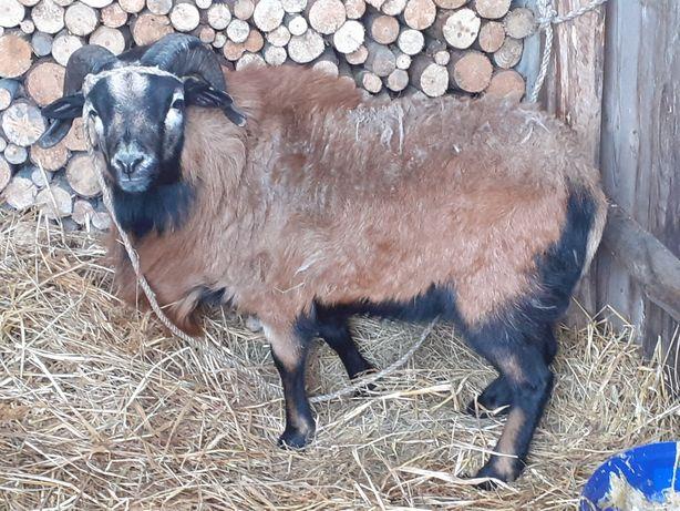Baran kamerumski owce kamerunskie wrzosowki barbados