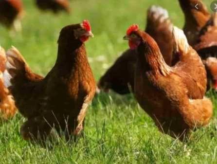 яйця для інкубації кури Ломан Браун