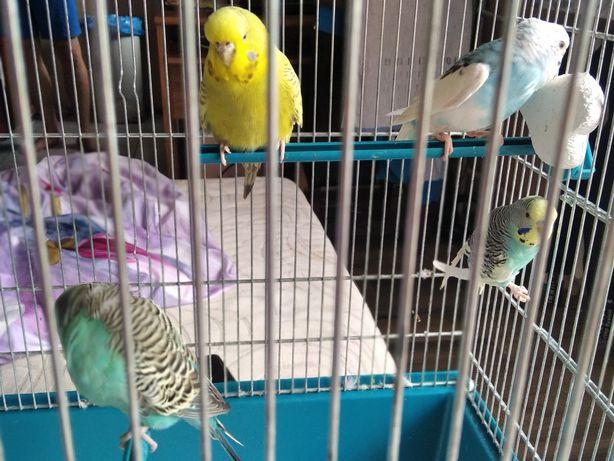 Sprzedam papugi faliste z klatka